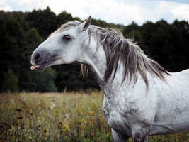 Andalusian stallion Bucefalo XXXII by Nightmare-v