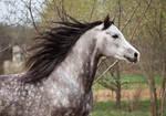 Persepolis, Arabian horse