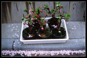 Baby Sakura Trees by jasebase