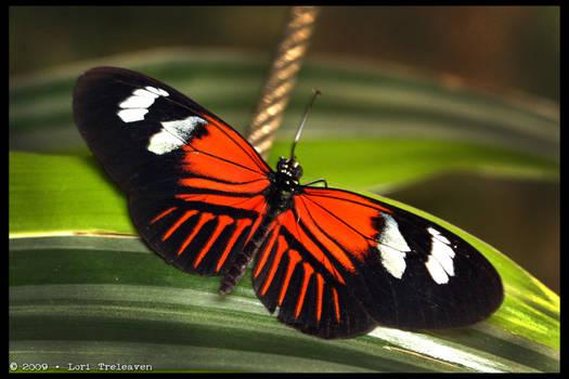 Postman Butterfly 3