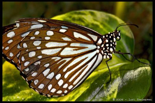 Gulf Fritillary Butterfly 1