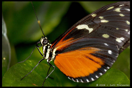 Tiger Longwing Butterfly 4