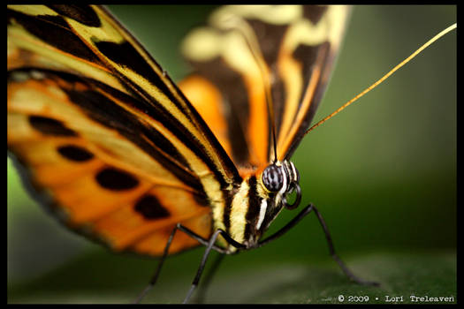 Isabella Tiger Butterfly 1