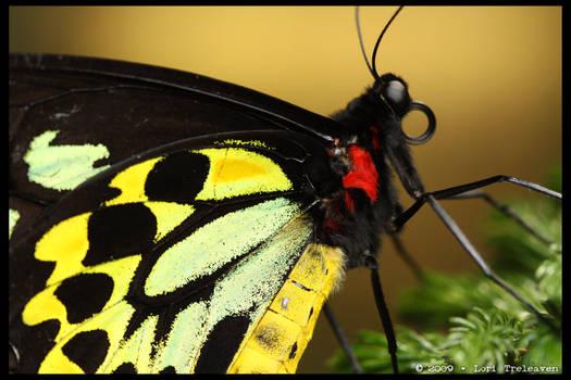 Birdwing Butterfly 3