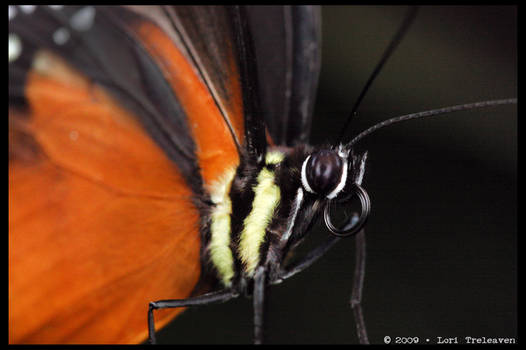 Tiger Longwing Butterfly 5