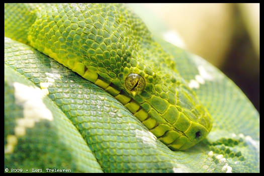 Green Tree Snake 1