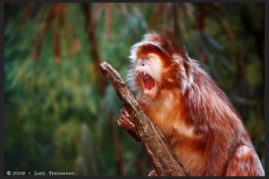 Langur Monkey Yawn