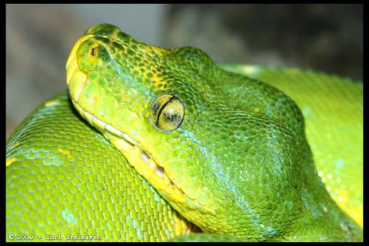 Green Tree Snake 2