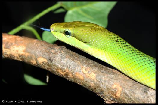 Lil Green Snake