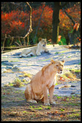 Lion Mom Standing Guard