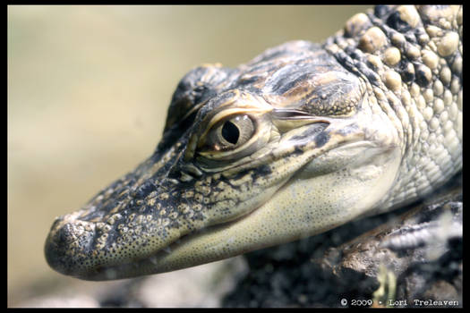 Lil' Baby Alligator