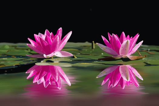 Water lilies study