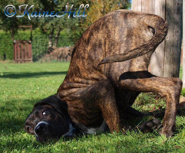Cane Corso Yoga by KaineHillPhotography