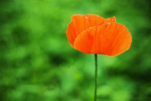 orange poppy by chirilas