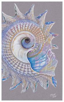 Shells - Astraea