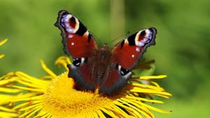 Sunbathing Butterfly 4k