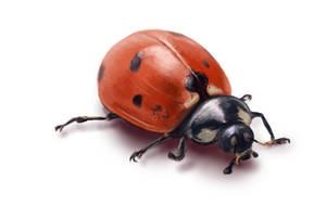Ladybug by BlackDelphin