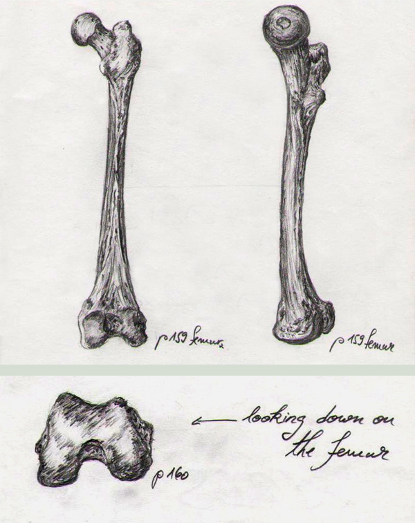 Bone Studies 02 by BlackDelphin