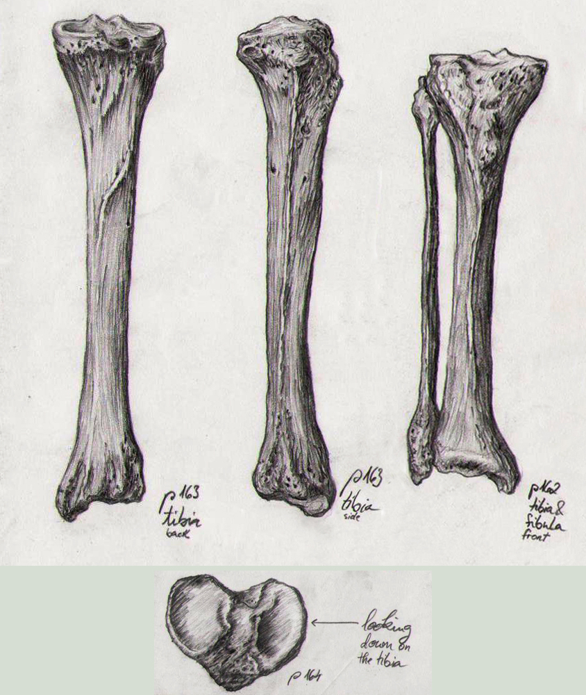 Bone Studies 03