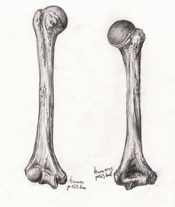 Bone Studies 06 - Humerus by BlackDelphin