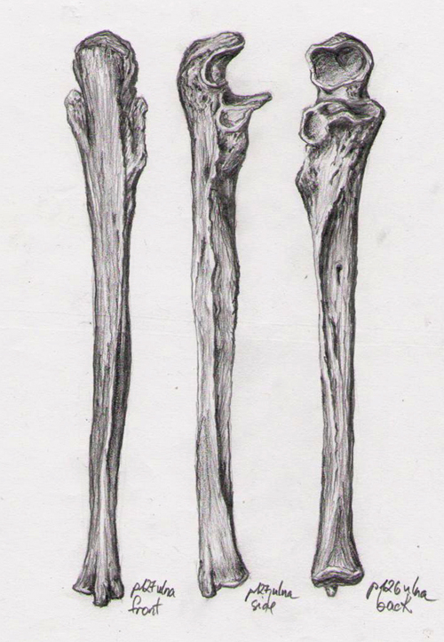Bone Studies 07 - Ulna by BlackDelphin