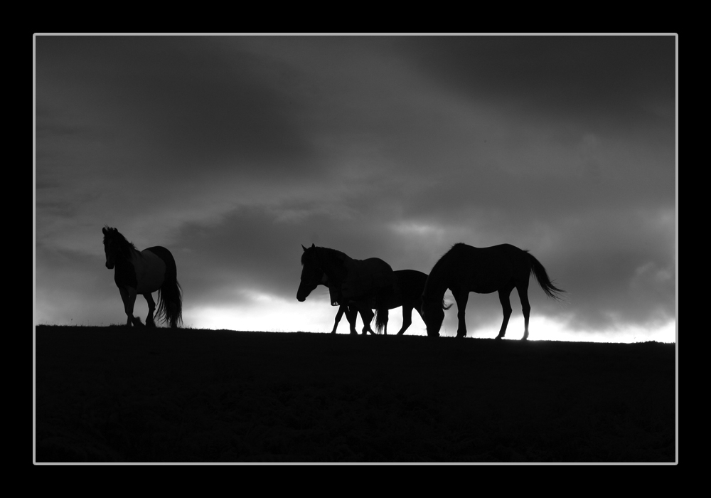 images of horses in black and white - photo #22