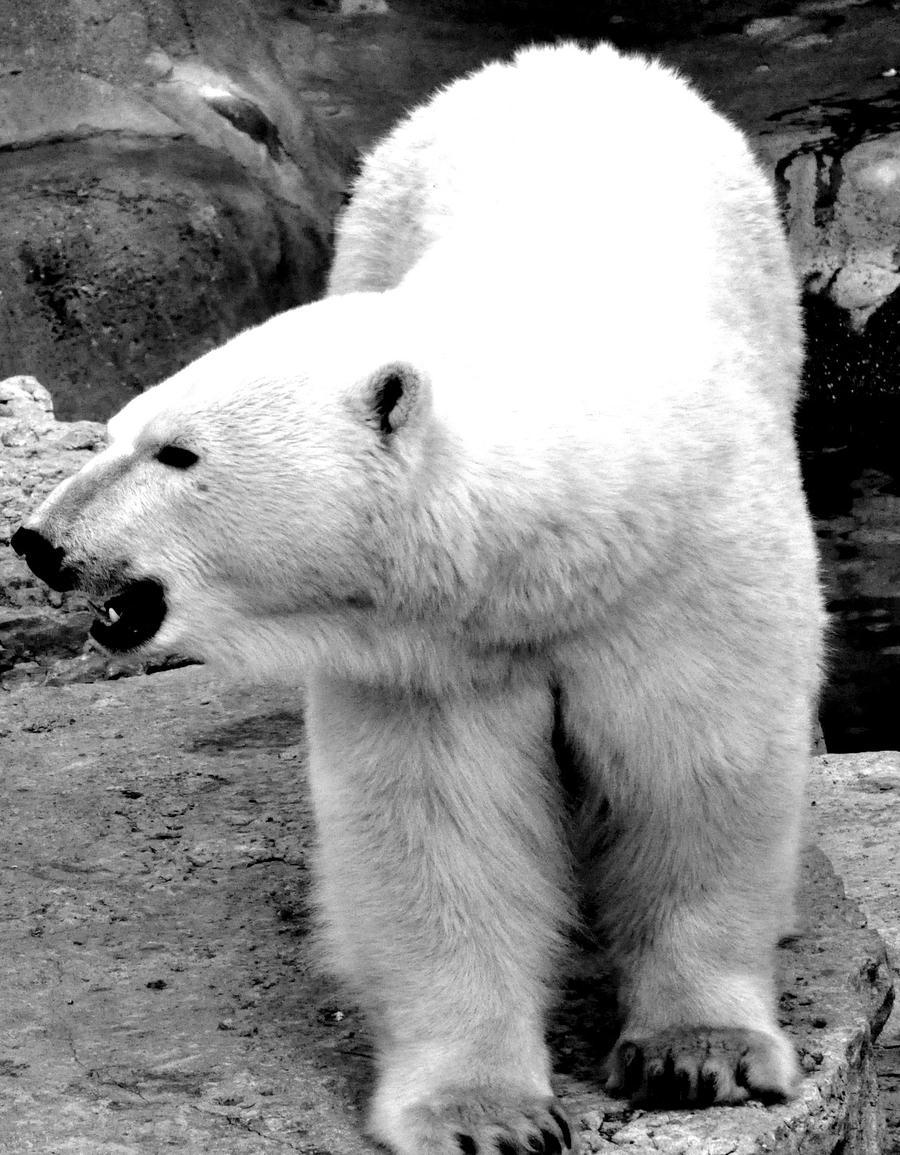 Black And White Bear : Black and white polar bear by pawnee on deviantart