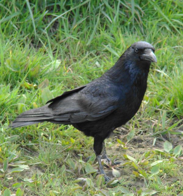 Crow by mwswjww47