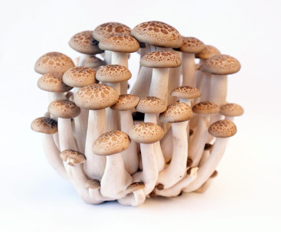 Buna Shimeji Mushroom 4 by mwswjww47
