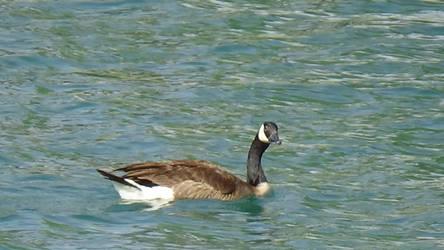 Canadian Goose - Random Camcorder Photo Test by Rage-DSSViper-Sigma
