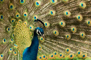 Peacock by TimGrey