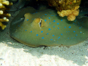 Electric ray by db-1