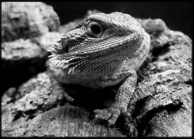'Chili' My Bearded Dragon by delboy1066
