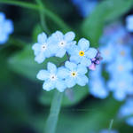 forget-me-not II