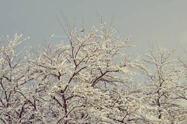 Snow On Acacia by LindaMarieAnson