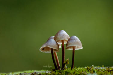 mycena by LindaMarieAnson