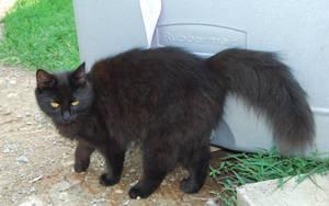 Black Cat 1 by Snowyowl88-Stock