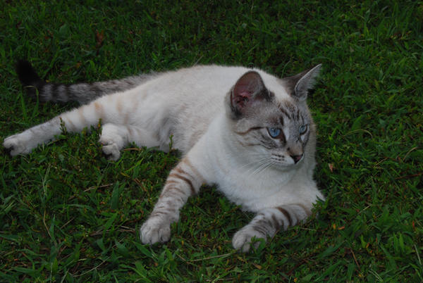Grey Cats For Sale In Grand Forks