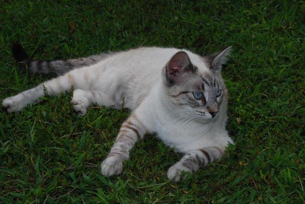 Blue Cream Tabby Cats