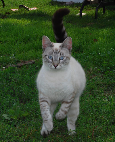 Tabby Siamese Cross 3 by Snowyowl88-Stock
