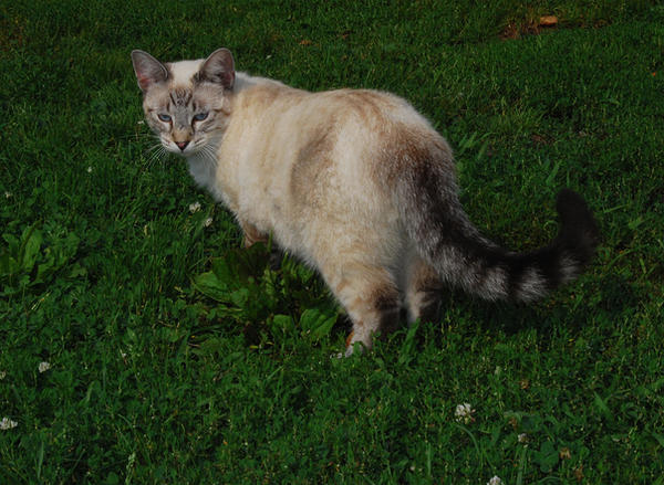 Tabby Siamese Cross 4 By Snowyowl88 Stock On Deviantart