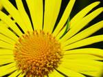 Yellow Flower No2