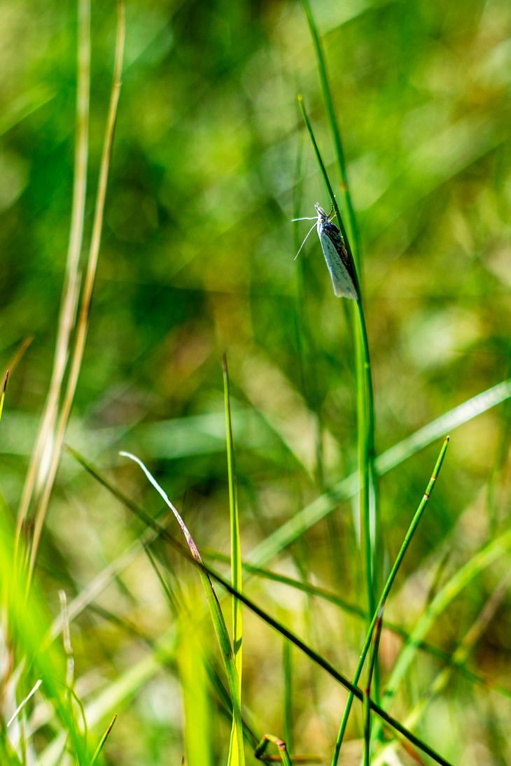 Sod Webworm Moth II by MkshftChrstian