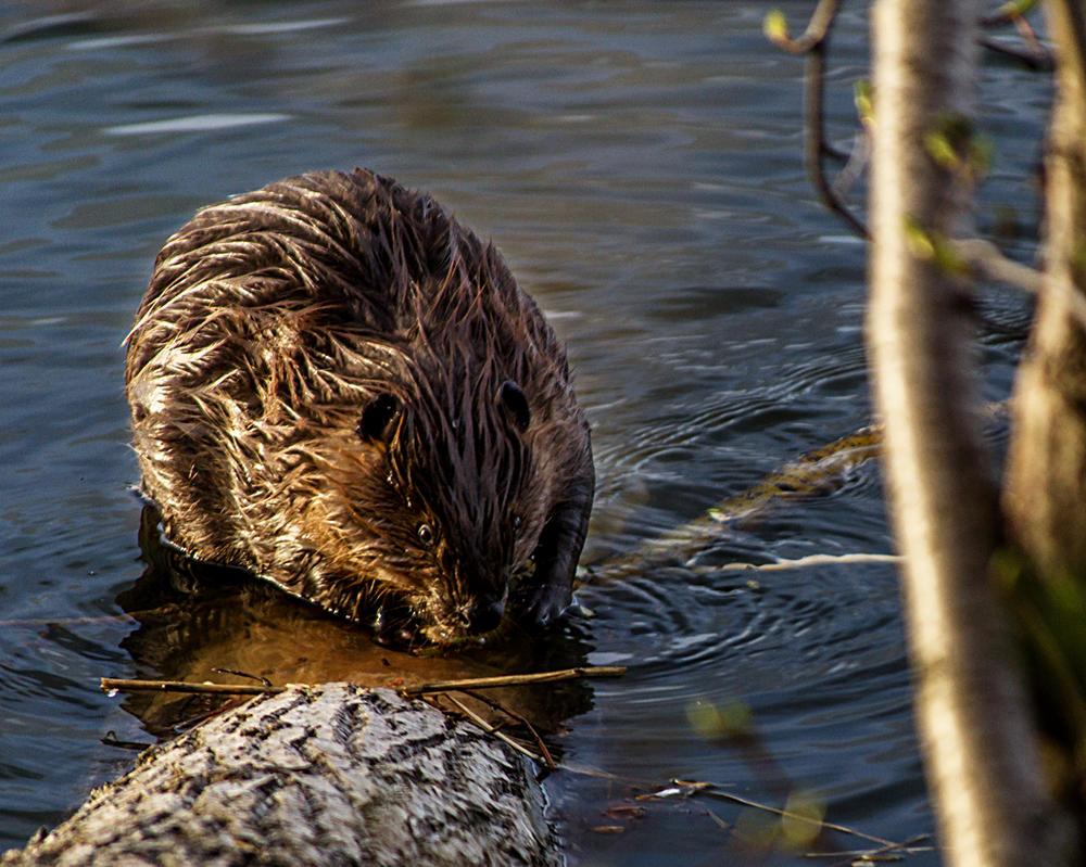 Beaver by MkshftChrstian