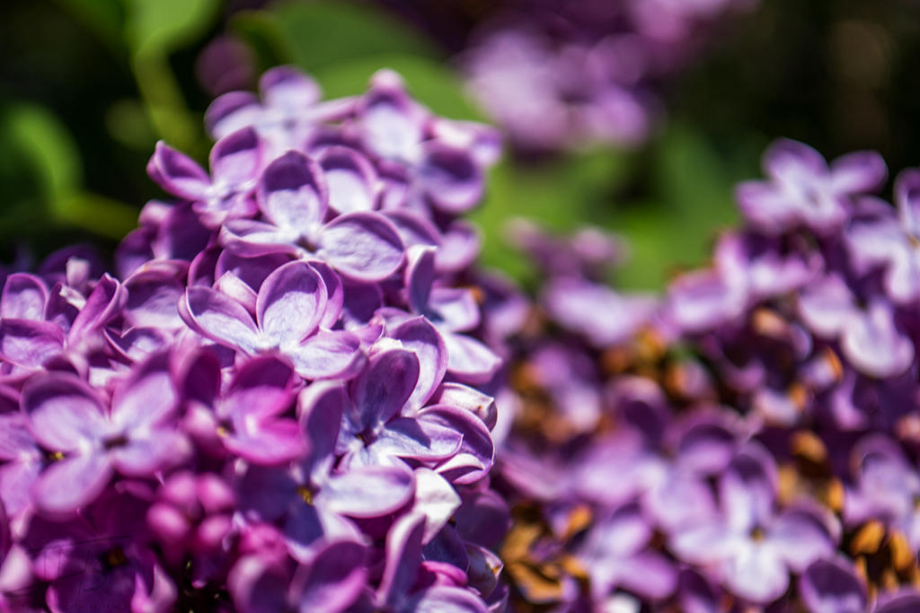 Lavender by MkshftChrstian