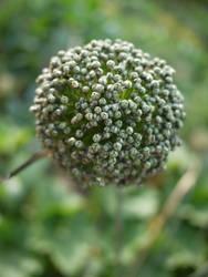 Allium victoralis