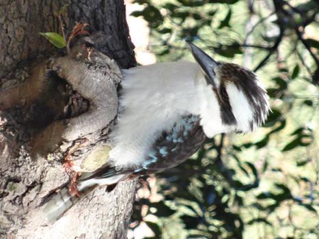Kookaburra in the Lilli Pilly Tree