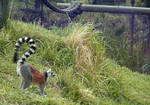 Ring Tailed Lemur by Friendly-Fish