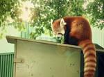 Red Panda II by Friendly-Fish