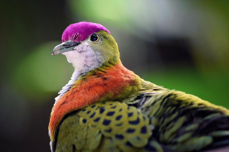 Superb fruit dove by CharlyJade